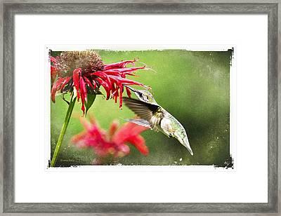 Antique Hummingbird Postcard No. 1124 Framed Print