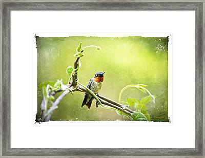 Antique Hummingbird Postcard No. 9038 Framed Print by Christina Rollo