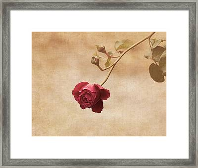 Antique Rose Framed Print
