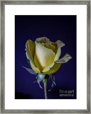 Antique Yellow Rose Framed Print by Mitch Shindelbower