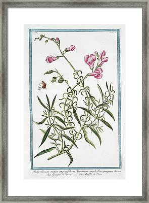 Antirrhinum Majus Framed Print by Rare Book Division/new York Public Library