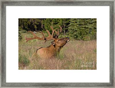 Framed Print featuring the photograph Antlers In Velvet by Chris Scroggins
