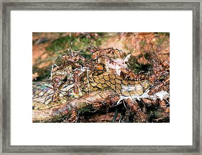 Ants Feeding On A Decomposing Snake Framed Print by Dr Morley Read