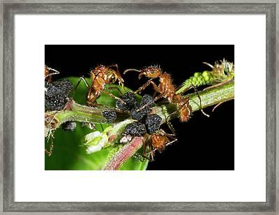 Ants Harvesting Leafhopper Honeydew Framed Print