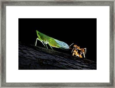 Ants Milking A Planthopper Framed Print