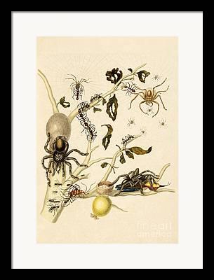 Ruby-topaz Hummingbird Framed Prints