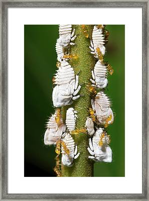 Ants Tending Planthopper Nymphs Framed Print