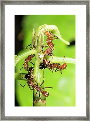Ants Tending Treehoppers Framed Print by Dr Morley Read