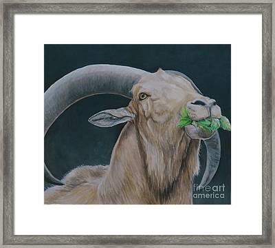 Aoudad Sheep Framed Print by Charlotte Yealey