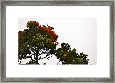 Apapane Atop An Orange Ohia Lehua Tree  Framed Print