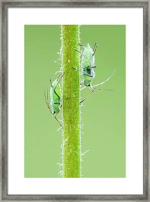 Aphids Framed Print by Heath Mcdonald