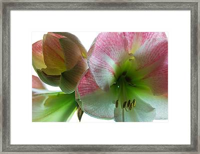 Aple Blossom Framed Print by Steffen Gierok