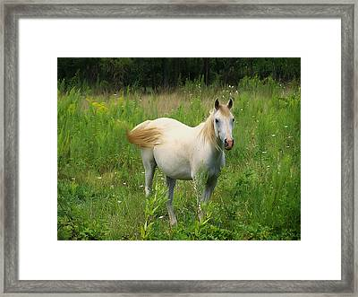 Appaloosa Horse Stare Framed Print by Chris Flees