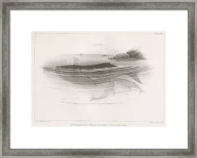 Appearance Of A Female Humpback Suckling Her Young Framed Print by Celestial Images