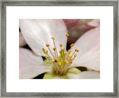 Apple Blossom 2 Framed Print by Carl Engman