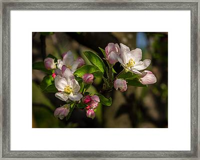 Apple Blossom 3 Framed Print by Carl Engman