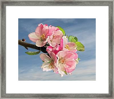 Apple Blossom And Blue Skies Framed Print by Gill Billington