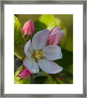Apple Blossom Framed Print by Angie Vogel
