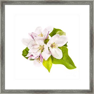 Apple Blossom Framed Print by Elena Elisseeva