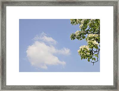 Apple Blossom In Spring Blue Sky Framed Print by Matthias Hauser