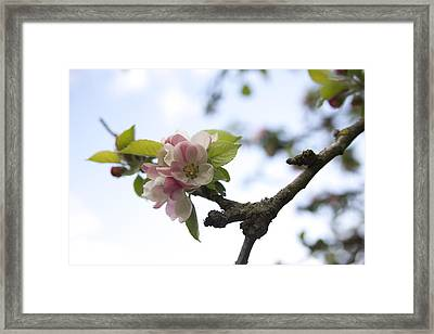 Apple Blossom Framed Print by Maeve O Connell