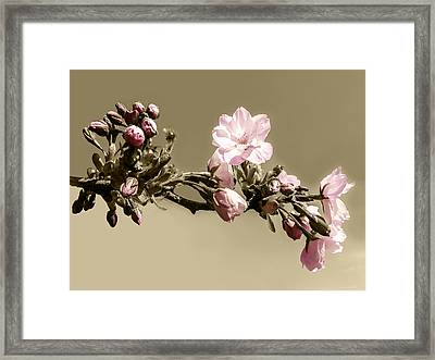 Apple Blossom On Sepia Framed Print by Yvon van der Wijk