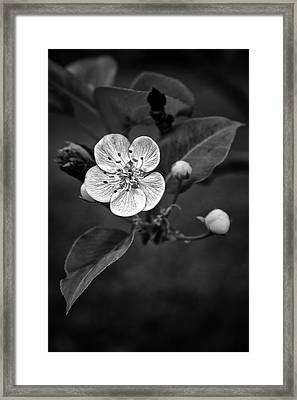 Framed Print featuring the photograph Apple Blossom On The Farm by Ben Shields