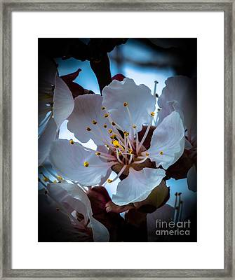 Apple Blossom Framed Print by Robert Bales