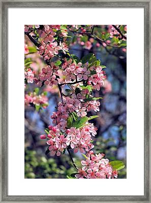 Apple Blossom Time Framed Print