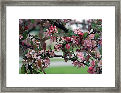 Framed Print featuring the photograph Apple Blossom Time by Kay Novy