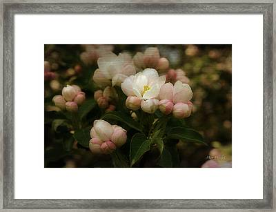 Apple Blossom Time Framed Print by Mary Machare