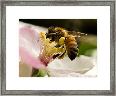 Apple Blossom With Bee Framed Print by Carl Engman