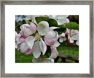 Apple Blossoms 2 Framed Print by VLee Watson