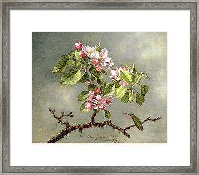 Apple Blossoms And A Hummingbird Framed Print by Martin Johnson Heade