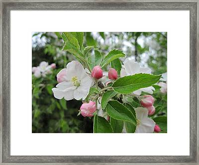 Apple Blossoms And Buds Framed Print