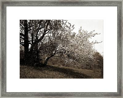 Apple Blossoms, Apple Trees, Flowers Framed Print by Litz Collection