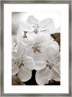 Apple Blossoms Framed Print by Frank Tschakert