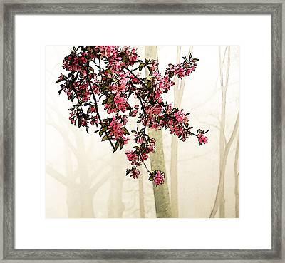 Apple Blossoms In Fog Framed Print