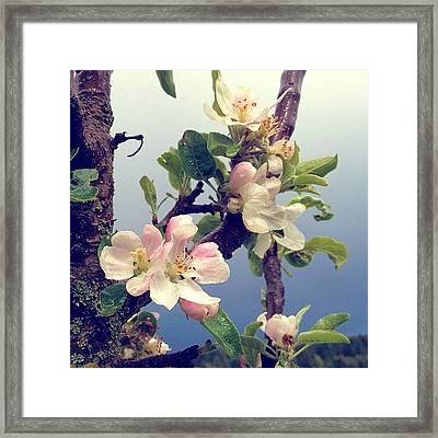 Apple Blossoms Right Outside My Studio Framed Print