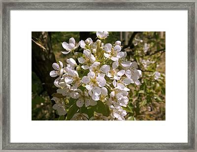 Apple (malus Domestica) Blossom Framed Print by Adrian Thomas