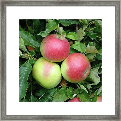 Apple (malus Domestica 'idared') Framed Print by Bildagentur-online/mcphoto-muller/science Photo Library