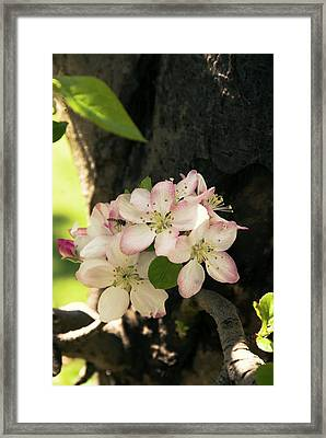 Apple (malus Domestica) 'pink Lady' Framed Print by Adrian Thomas