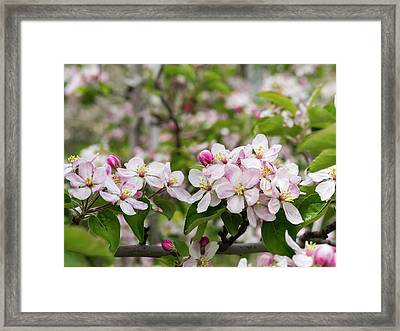 Apple (malus) Growing In The Valley Framed Print