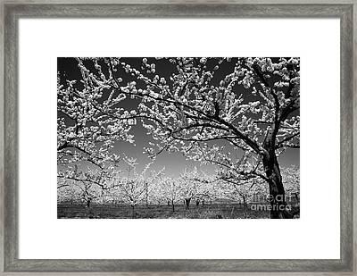 Apple Orchard Framed Print by Elena Elisseeva