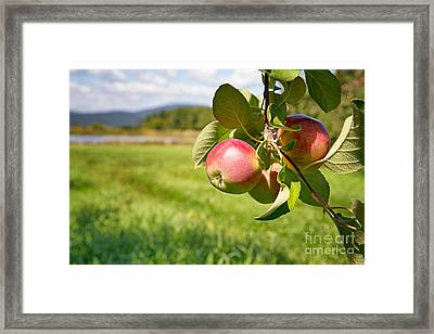 Apple Orchard Framed Print by Jane Rix