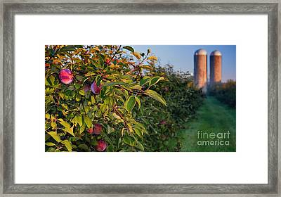 Apple Orchard Sunrise Autumn Framed Print by Henry Kowalski