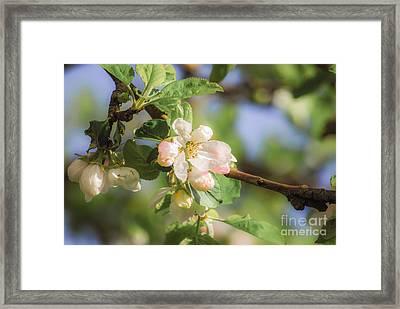 Apple Tree Blossom - Vintage Framed Print by Hannes Cmarits