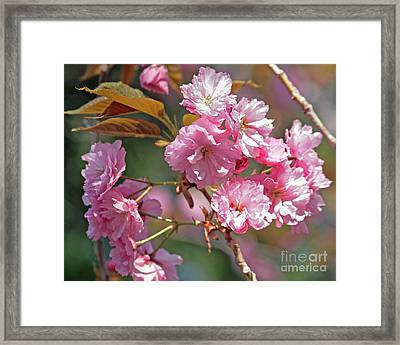 Apple Tree Blossoms Framed Print by Kenny Bosak