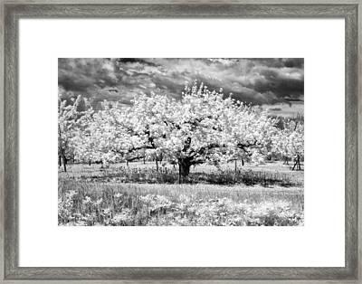 Apple Tree In Ir Framed Print