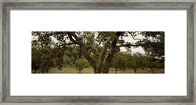 Apple Trees In An Orchard, Sebastopol Framed Print